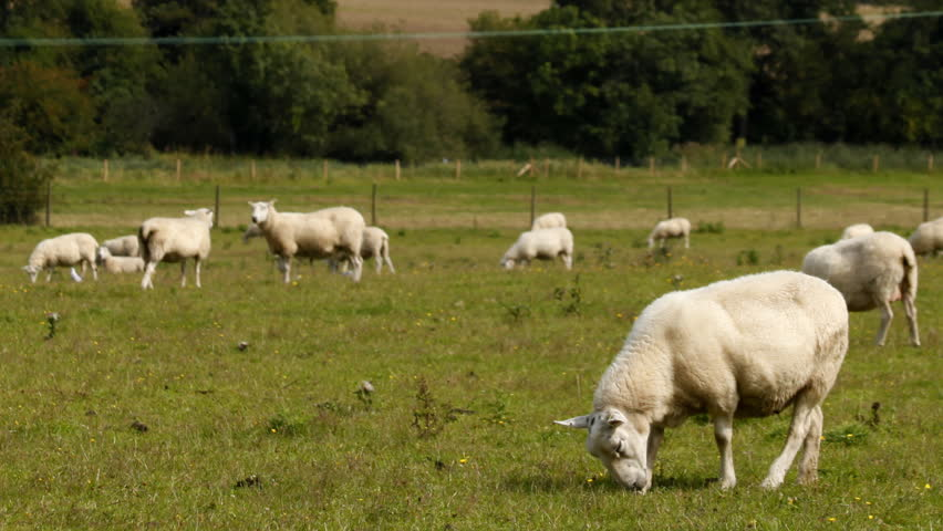 time-lapse of sheep in a field - HD stock video clip