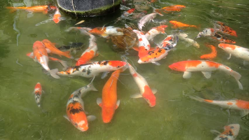 Koi fancy carp are swimming in the pond stock footage for Koi fish to pond ratio