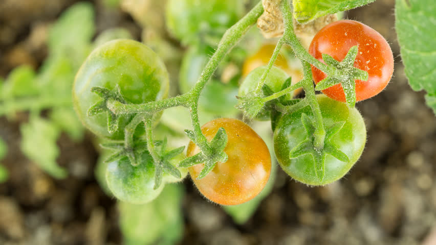 4K Closeup of Dirty Branch with several tomatoes ripening time lapse