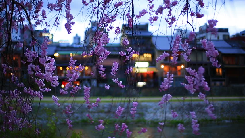 Restaurants on the Kamogawa River in Kyoto. Spring evening, cherry blossoms.