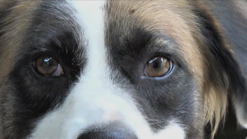 Color close up to the eyes of a mutt dog, the animal is moving inquietly, 4k stock footage clip