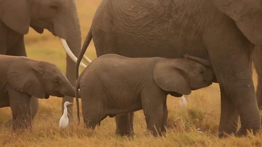 elephant nursing baby