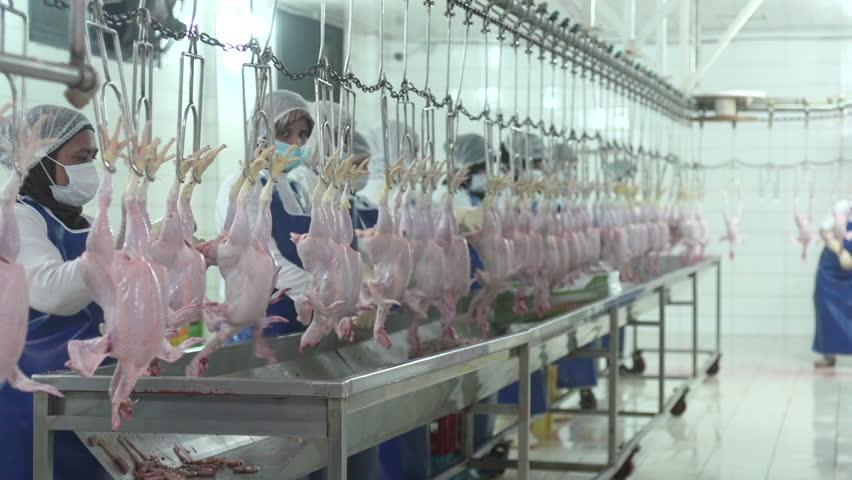 HADETH, LEBANON - 2014: Muslim veiled women work in chicken meat industry. Women make up 23 percent of the labor market's size in Lebanon.