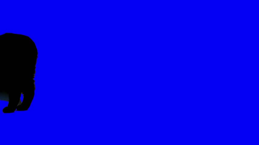 UHD blue screen footage of a black cat looking around then heading towards the camera.